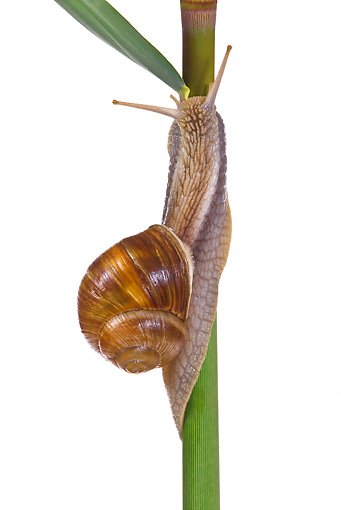 INS 15 KH0034 01 © Kimball Stock Snail Crawling On Flower Stem On White Seamless
