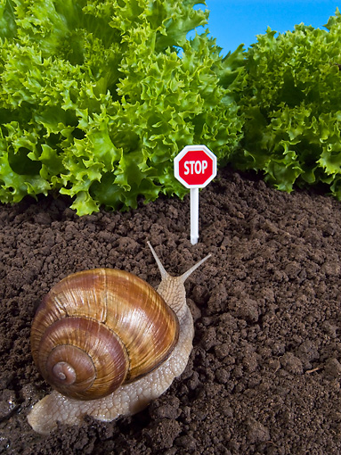 INS 15 KH0035 01 © Kimball Stock Snail Crawling Toward Lettuce With Stop Sign Guarding