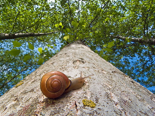 INS 15 KH0037 01 © Kimball Stock Snail Crawling Up Tree Trunk