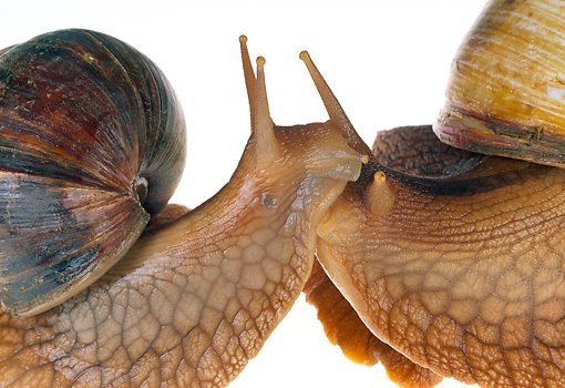INS 15 MH0001 01 © Kimball Stock Close-Up Of Bushveld Land Snails On White Seamless