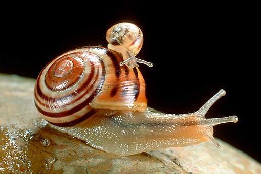 INS 15 WF0003 01 © Kimball Stock White-Lipped Garden Snail Carrying Young On Back