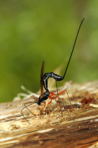 INS 17 WF0009 01 © Kimball Stock Ichneumon Wasp Inserting Ovipositor Into Cavity With Host Larva