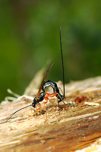 INS 17 WF0010 01 © Kimball Stock Ichneumon Wasp Depositing Eggs Into Host Larva