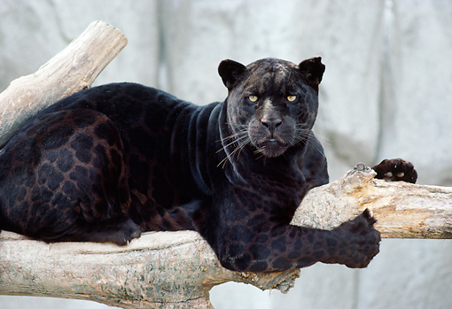 Attractive JAG 01 GR0001 01 © Kimball Stock Close Up Of Black Jaguar Laying On Log