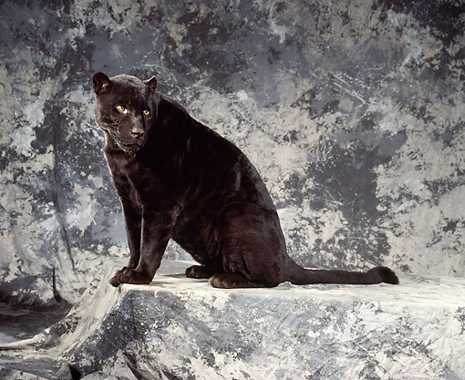 JAG 01 RK0020 04 © Kimball Stock Full Body Shot Of Black Jaguar Sitting Sideways Facing Camera On Gray Marble Background