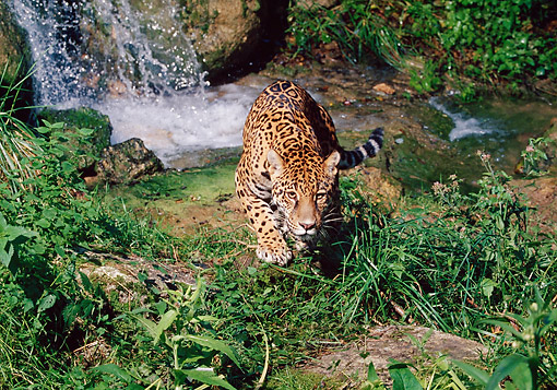 JAG 02 GL0001 01 © Kimball Stock Jaguar Stalking Near Waterfall