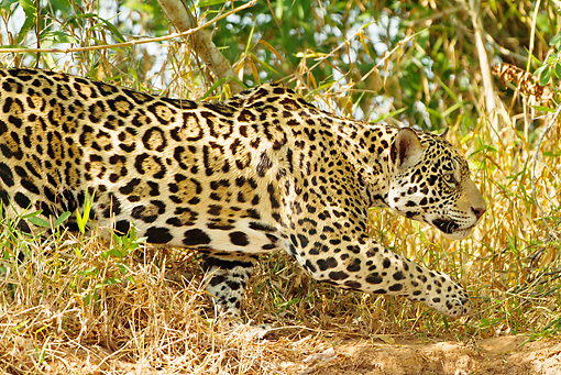 JAG 02 MC0004 01 © Kimball Stock Close-Up Jaguar Hunting In Foliage Kenya