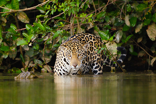 JAG 02 MC0006 01 © Kimball Stock Jaguar Hunting Along Riverbank Pantanal, Brazil