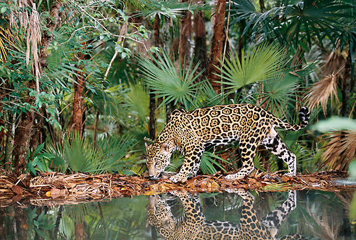 JAG 02 KH0002 01 © Kimball Stock Jaguar Walking By Edge Of Water In Jungle
