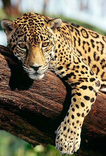 JAG 02 LS0001 01 © Kimball Stock Spotted Jaguar Resting On Tree Branch Belize