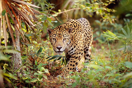 JAG 02 LS0002 01 © Kimball Stock Spotted Jaguar Approaching Camera On Jungle Floor In Central America