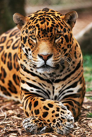JAG 02 RK0002 02 © Kimball Stock Spotted Jaguar Laying And Facing Camera Paws Crossed Over On Dry Leaves By Tree