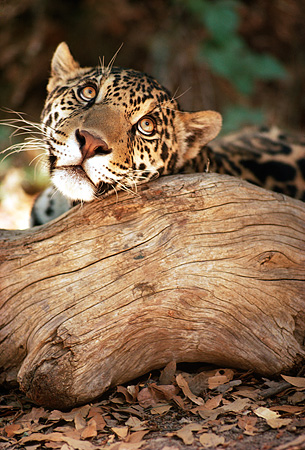 JAG 02 RK0014 01 © Kimball Stock Head Shot Of Spotted Jaguar Peeking Over Log Facing Camera On Old Dry Leaves