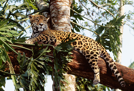 JAG 02 TL0001 01 © Kimball Stock Spotted Jaguar Resting On Tree Branch In Central America
