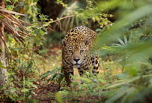 JAG 02 TL0002 01 © Kimball Stock Spotted Jaguar Approaching Camera On Jungle Floor In Central America