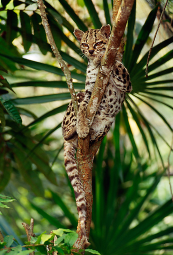 JGC 01 TL0001 01 © Kimball Stock Margay Resting In Tree In Jungle In Central America