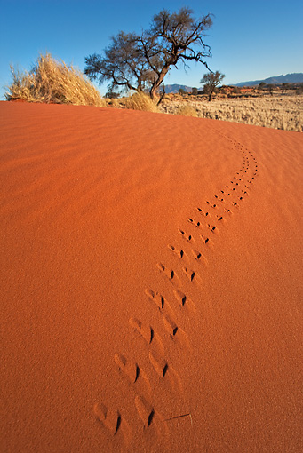 LAN 01 MH0002 01 © Kimball Stock Animal Tracks In Red Sand Namibia