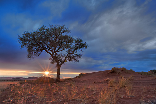 LAN 01 MH0003 01 © Kimball Stock Thorn Tree At Sunrise Namibia