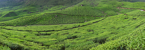 LAN 01 MH0006 01 © Kimball Stock Sprawling Tea Plantation India