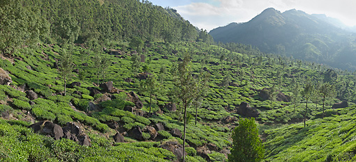 LAN 01 MH0007 01 © Kimball Stock Sprawling Tea Plantation India