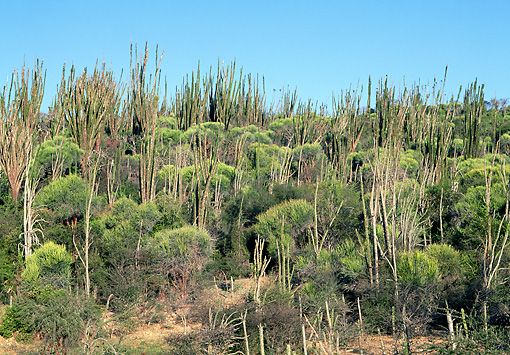 LAN 01 MH0071 01 © Kimball Stock Spiny Forest In Semi-Desert Area Of Madagascar