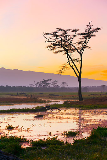 LAN 01 MH0147 01 © Kimball Stock Marsh With Fever Trees At Sunrise With Mount Kenya In Background At Ol Pejeta Conservancy, Kenya