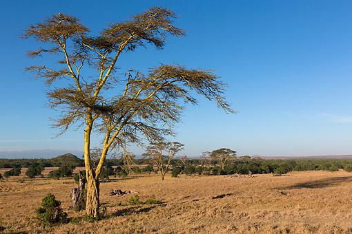 LAN 01 MH0148 01 © Kimball Stock Fever Tree With Mount Kenya In Background At Ol Pejeta Conservancy, Kenya