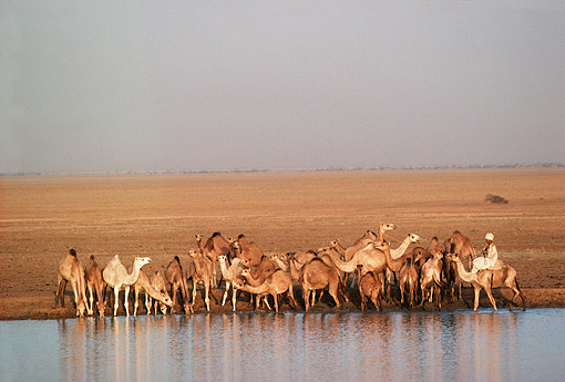 LAN 01 MR0002 01 © Kimball Stock Camels Drinking Water In Sudan Africa