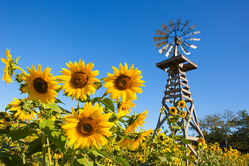 LAN 03 RK0049 01 © Kimball Stock Sunflowers By Windmill Blue Sky