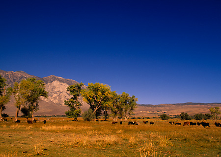 LAN 03 RK0016 02 © Kimball Stock Cows Grazing On Pasture With Trees Blue Sky Owens Valley California
