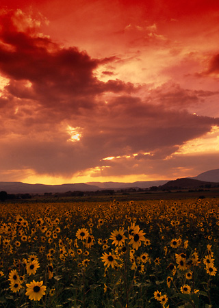 LAN 03 RK0027 06 © Kimball Stock Red Clouds With Yellow Flower Field