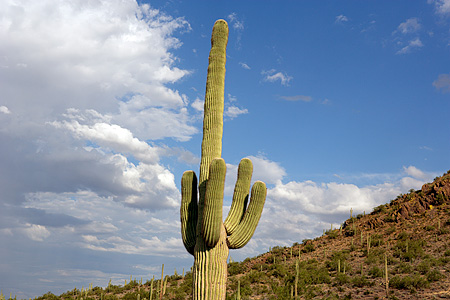 LAN 03 RK0045 01 © Kimball Stock Cactus In Desert Arizona