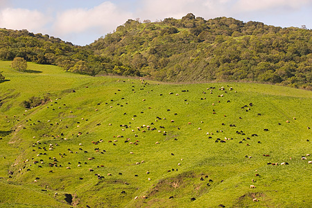 LAN 03 RK0062 01 © Kimball Stock Cows Grazing On Green Hills By Trees Sky Hollister California