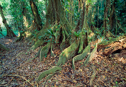LAN 04 MH0029 01 © Kimball Stock Buttress Roots Of Kaway Trees Belize