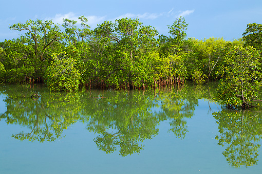 LAN 04 MH0032 01 © Kimball Stock Mangroves Growing On Saline Coastal Sediment Habitat In Tropics
