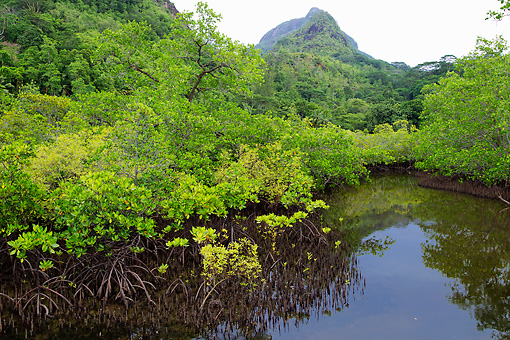 LAN 04 MH0033 01 © Kimball Stock Mangroves Growing On Saline Coastal Sediment Habitat In Tropics