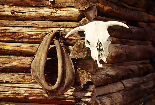 LAN 05 RK0015 01 © Kimball Stock Cattle Skull Hung On Barn Oregon