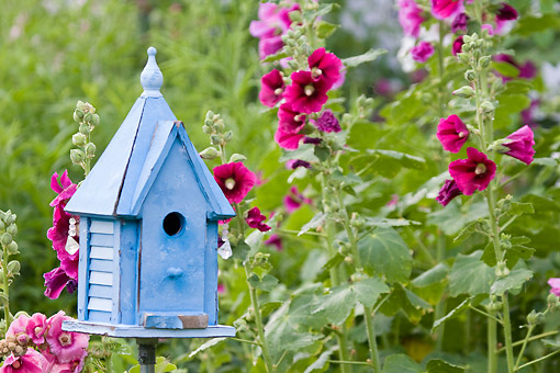 LAN 07 DA0006 01 © Kimball Stock Blue Birdhouse Near Hollyhocks Illinois