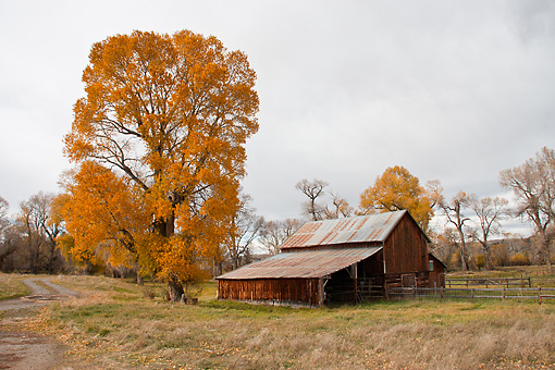 LAN 07 DS0005 01 © Kimball Stock Barn And Autumn Foliage At Fly Fishing Farm In Montana