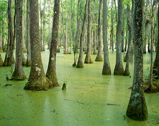 LAN 07 GR0003 01 © Kimball Stock Bald Cypress Tupelo Swamp In Spring South Carolina