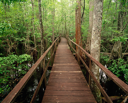 LAN 07 GR0005 01 © Kimball Stock Boardwalk In Cypress Tupelo Gum Swamp Francis Beidler Forest In Spring South Carolina