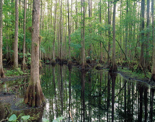 LAN 07 GR0007 01 © Kimball Stock Cypress Swamp In Highlands Hammock State Park, Florida