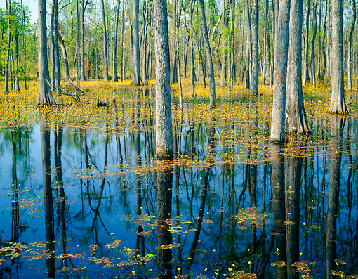 LAN 07 GR0008 01 © Kimball Stock Cypress Swamp In South Carolina