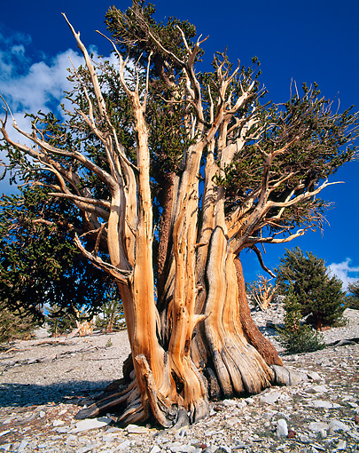 LAN 07 GR0012 01 © Kimball Stock Bristlecone Pine Tree - Oldest Living Thing - In White Mountain National Forest During Summer, California