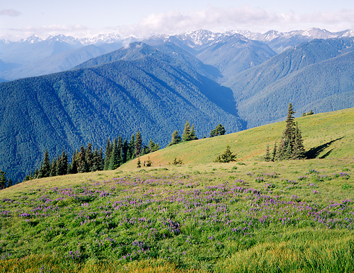 LAN 07 GR0056 01 © Kimball Stock Hurricane Ridge During Summer In Olympic National Park, Washington