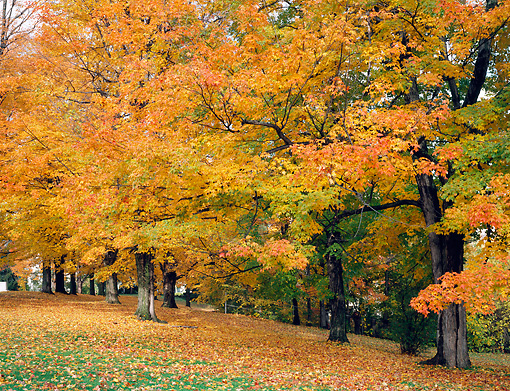 LAN 07 GR0106 01 © Kimball Stock Sugar Maple Trees During Autumn In Barre, Vermont