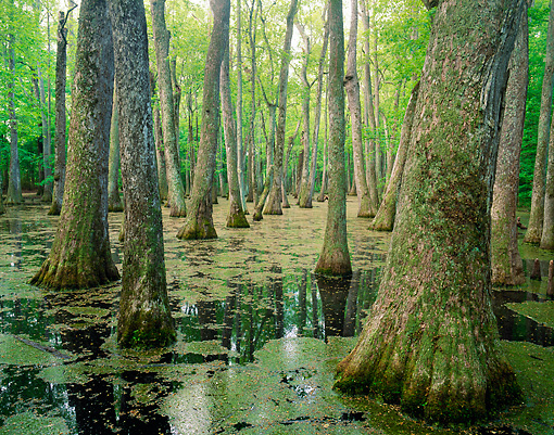 LAN 07 GR0111 01 © Kimball Stock Tupelo Bald Cypress Swamp In Natchez Trace Parkway, Mississippi