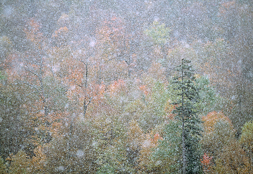 LAN 07 LS0003 01 © Kimball Stock October Snowfall In Green Mountain National Forest, Vermont