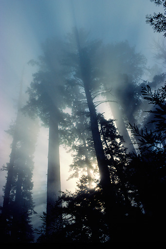 LAN 07 LS0005 01 © Kimball Stock Silhouette Of Redwood Trees At Dawn
