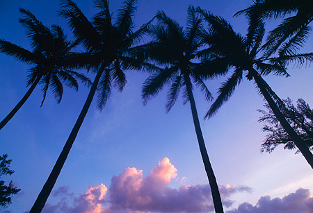 LAN 07 MR0011 01 © Kimball Stock Palm Trees On Beach North Shore Kauai, Hawaii
